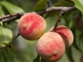 Apricot tree with three red ripe apricots.