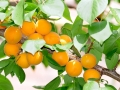 Apricots ripen on the tree.An apricot is a fruit or the tree that bears the fruit.