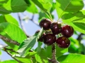 Ripe juicy vinous cherry big berries with sunlight foliage on tree branch