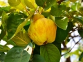 Big bright yellow quince on the tree