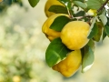 Quinces on tree with beautiful bokeh. Copy space composition. Shallow DoF