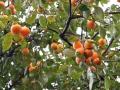 Japanese persimmon tree ( kaki ) with fruits.