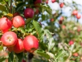 Bunch of red Gala apples on a apple tree.
