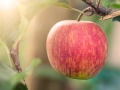 Red Ripe Organic Apple On Tree In Apple Orchard