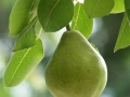 Close-up of single pear on tree with leaves shallow depth of field.