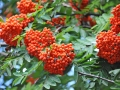 Rowan berries Mountain ash (Sorbus) tree with ripe berry ** Note: Shallow depth of field